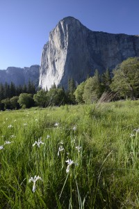 Wildflowers and El Capitan
