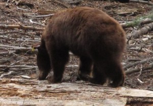 Foraging Bear