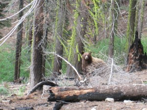 Bear in woods