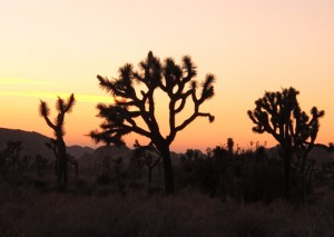 Joshua Trees Sunset
