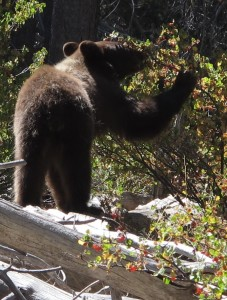 Black Bear Grazing on Currants3
