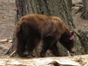 Bear foraging for termites