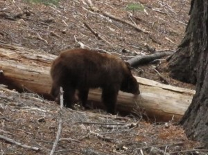 Bear eating termites