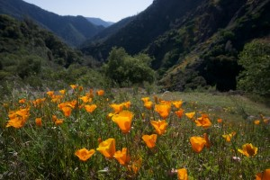 Poppies in Merced River Canyon