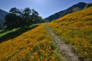 Merced River and Poppies